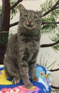 "Young Female Cat - Domestic Medium Hair: ""Adele"""