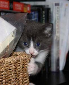 Gorgeous Gus, Grey/White Kitten for Adoption with KLAWS