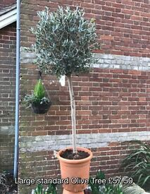 Standard Olive Trees. 6FT. £55 each.