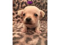 5 gorgeous chihuahua puppies