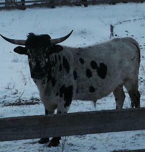 Longhorn bull for sale
