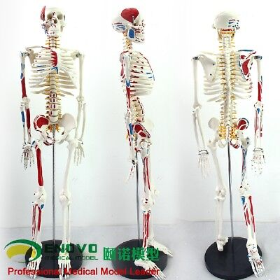 85cm Skeleton Model With Muscle Painted For Medical Science Anatomically Correct