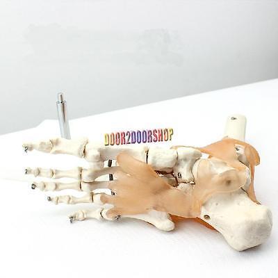 Model 11 Size Podarthrum Foot Joints Ligament Skeleton Human Anatomical