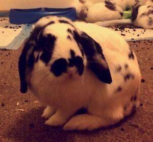 Neutered Male Holland Lop with cage