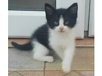 2 Black and White, 1 Black Male Cute Kittens to rehome!