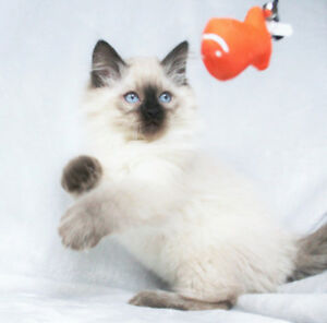 Seal Point Ragdoll Kittens for Rehoming