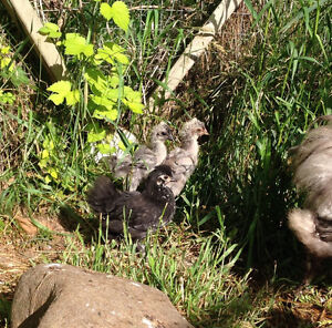 Silkie and Frizzle chicks for sale