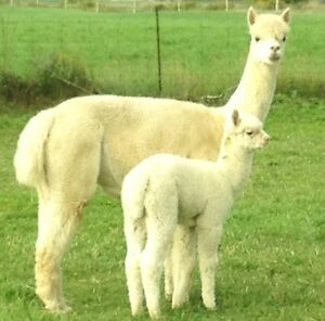 A1 - Alpaca Breeding Herd. (Double Registered Papers Available.)
