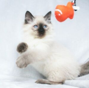 Friendly Seal Point Ragdoll Kittens for Adoption