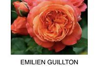 Rose bare root Emilien Guilton plants