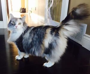 Rehoming a Beautiful Affectionate Cat