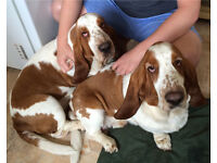 2 Bassett Hounds looking for new home