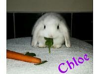 baby rabbits breed harlequin