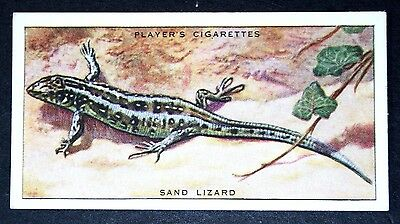 Sand Lizard    Original 1930's Vintage Colour Card     VGC