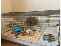 2 Female Guinea Pigs - Cage, Toys, Food Included