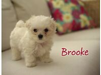 Gorgeous Pedigree Maltese Puppies Available