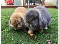 Gorgeous bunnies looking for new home together