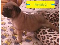 *CHAMPION PEDIGREE PUG PUPPIES *Apricot And Fawn*