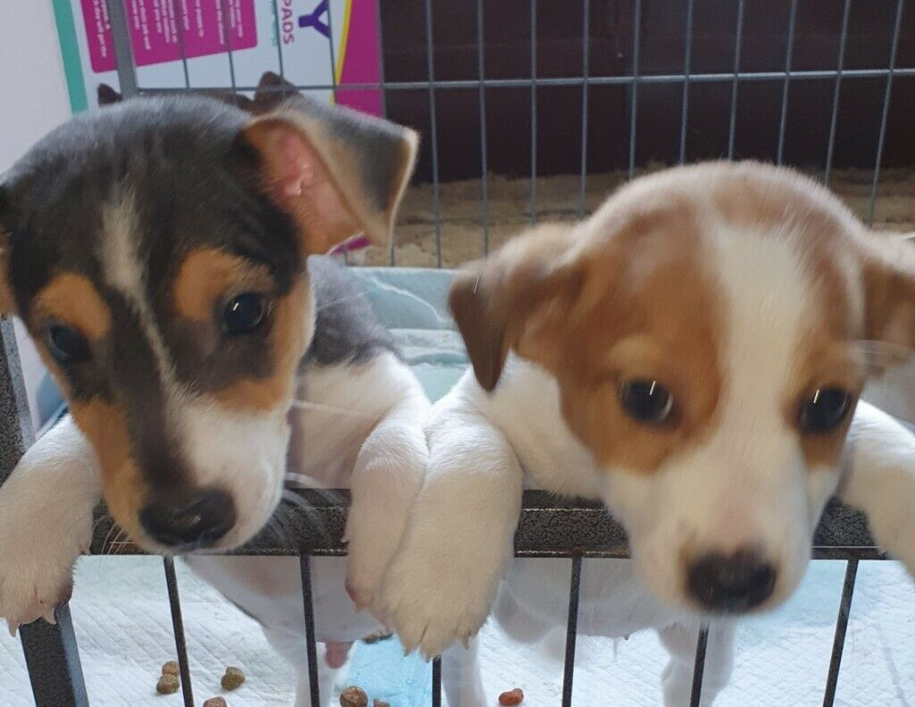 Jack Russell puppies for sale | in Mansfield, Nottinghamshire | Gumtree