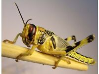 Live Food Locusts various sizes for sale