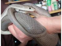 Beautiful Young Anerythtistic Stripe Het Scaleless Corn Snake