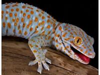 Female toyko gecko with full set up £100