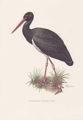 Schwarzstorch Ciconia nigra Storch Farbdruck von 1958 Vogelkunde Ornithologie