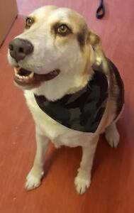 "Senior Male Dog - Retriever-Beagle: ""Sawyer"""