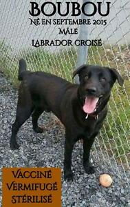 "Young Male Dog - Labrador Retriever: ""Boubou"""