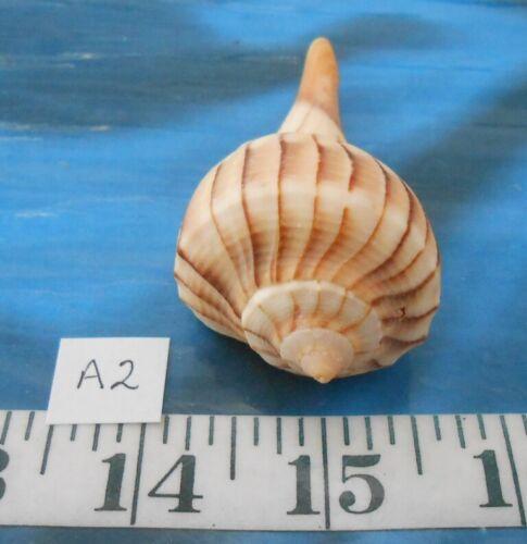 ~ Lightning Whelk Shell ~ Ivory/Beige/Brown ~ Shellcraft ~ Sailor