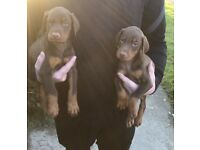 Doberman puppies for sale ready now