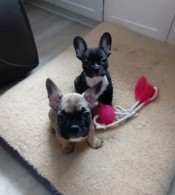 French Bulldog Pups READY NOW, Last 2 !!!