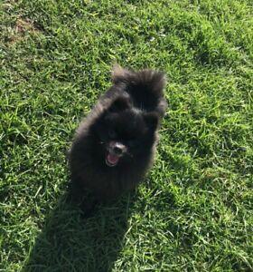 Purebred Dollface Pomeranian Black Female
