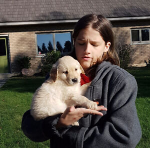 MALE Golden Retriever Puppy Family Raised