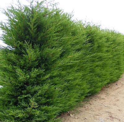 Heckenpflanzen Leyland-Zypresse im Container