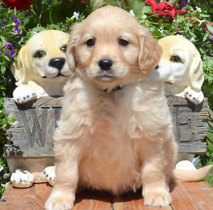 REGISTERED PETITE GOLDEN/SPORT RETRIEVER PUPPIES