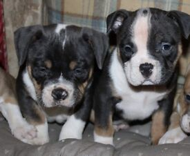 Abkc American bully pups for sale