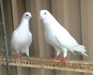 Pigeons trade or swapping from $10 Rowville Knox Area Preview