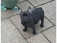 FRENCH BULLDOG BLACK BRINDLE WITH BLUE GENE
