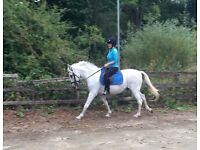 Stunning 15hh – Grey Pure Bred Andalucian Gelding