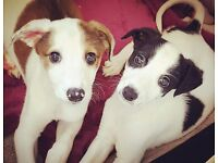 Whippet x saluki x greyhound puppies for sale