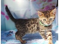 Bengal TICA Registered Girl.