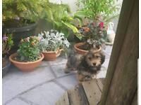 Fluffy dachshund puppies