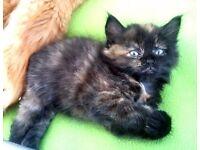 Fluffy Kitten For Sale Female Cat For Adoption Black Brown Ginger Derby City Centre