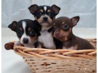 Adorable Jackahuahua Puppies Very Small