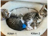 Two Female Kittens for sale