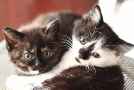 Scottish Fold X Kittens for Sale