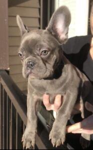 Pure bred Blue French bulldog puppies