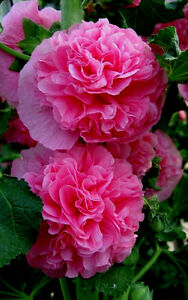 90 graines de rose tr mi re fleurs doubles rose alcea rosea ebay - Graine rose tremiere ...