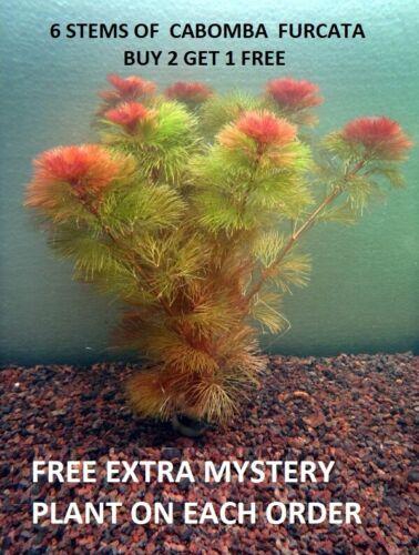 Red Cabomba Piauhyensis Furcata Fanwort Bunch Live Aquarium Plants BUY2GET1FREE